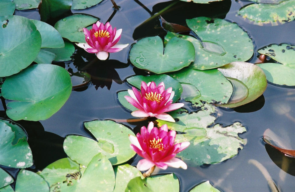 Lotus sur le lac de Hangzhou
